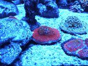 Koralle SPS Montipora Rainbow Meerwasser