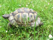 männliche maurische Landschildkröte Testudo graeca