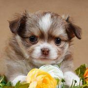 Reinrassige Chihuahua-Welpen suchen ein liebevolles