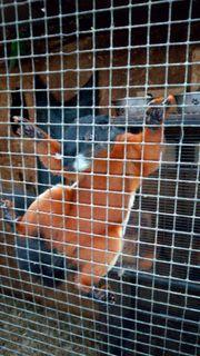 Schönhörnchen prevosti raflesi