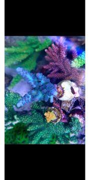 Meerwasser Acropora Tenius Blue Koralle