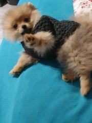 Pomeranian weiblich 5 Mo alt