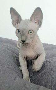 Sphynx Kitten abgabebereit