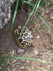 Schildkröten Sternschildkröten Landschildkröten