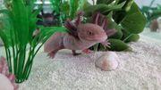 Axolotlbabys Flusen