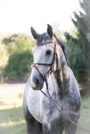 Pferd für gehobenen Freizeitsport