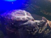 Dreikielschildkröte