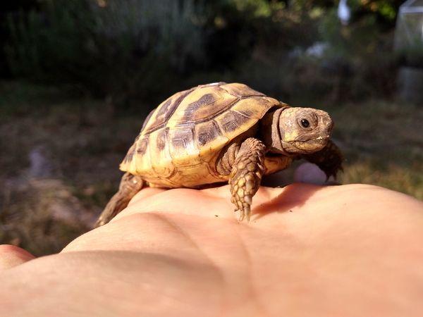 sehr schöne griechische Landschildkröten aus