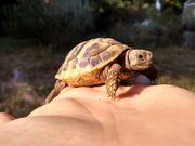 sehr schöne griechische Landschildkröten von