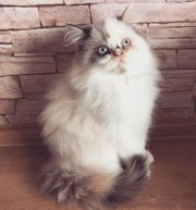Perser Kätzchen mit blauen Augen