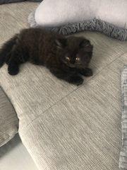 Bkh Perser Mix Kitten