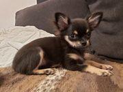Chihuahua Welpe Rüde abzugeben
