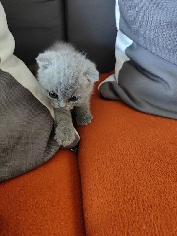 BKH Baby Katze