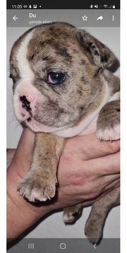 reinrassig französische bulldogge mädchen mini