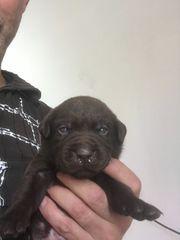 Labradorwelpen in Schoko ab 14