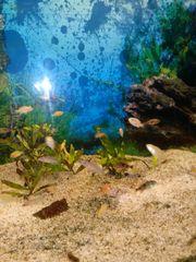 Labidochromis Yellow barsch