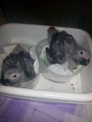 Graupapageienbabys Jungvögel darunter ein Königsgraupapagei