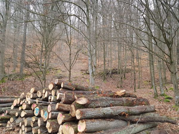 Brennholz Buche für den Sparfuchs -