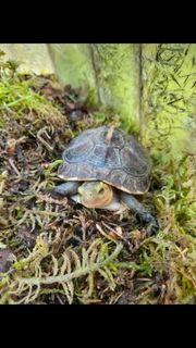 Cuora flavomarginata - Gelbrand-Scharnierschildkröte