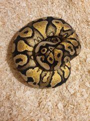 königspython Vanilla-Pastel-gravel or Yellowbelly