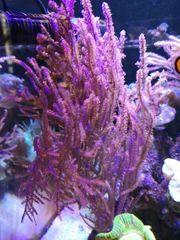 Gorgonie lila rosa Ableger Koralle