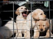 Labrador Welpen weißgelb und Champagner