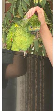Blaustirnamazonen Henne 14 Wochen alt