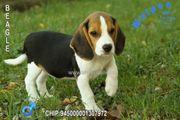 Vorwitzige Beagle Welpen