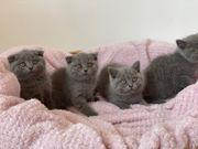 Wunderschöne BKH Kitten in Blue