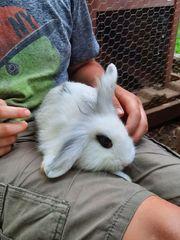 Kaninchen Zwerkaninchen Hasen
