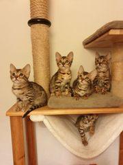 Bengale kitten zu verkaufen