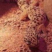 Leopardgeckos 1 Männchen 4 Jahre