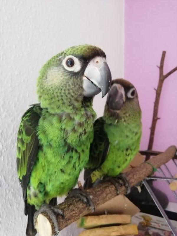 Papagei sehr zahm Grüner Kongopapagei
