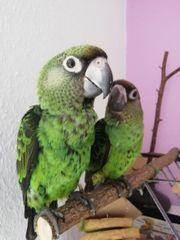 Papagei Grüner Kongopapagei Hahn