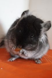 Chinchilla Hobbyzucht