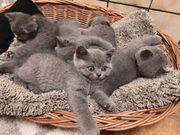 Wurfankündigung BKH Kitten Britisch Kurzhaar