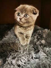 Katzen Baby Bkh SF