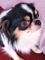 Bezaubernder reinrassiger Chihuahua Rüde