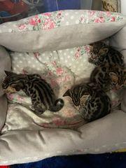 Bengal Babys