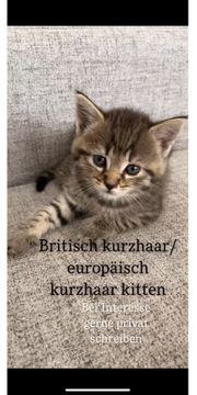 Britisch Europäisch Kurzhaar Kitten zu