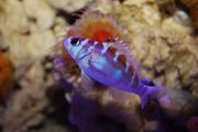 Meerwasser Tabakbarsch 3-4cm Serranus tortugarum