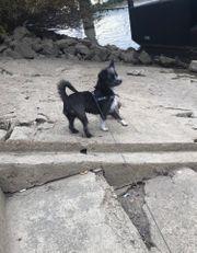 Ich suche Chihuahua Mischling