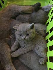 BKH Katzen Babys