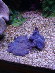 Blauer Schwamm Koralle