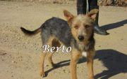 Terriermischling Berto sucht dringend ein