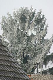 Nadelbaum schnellwachsend keine Zypressen gesucht