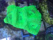 Superschöne Korallenableger