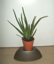 Aloe Vera Bio im Keramikübertopf