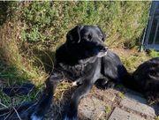 Champan verschmuster Labrador Mix