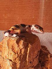 Leopardgeckos Weibchen Wildtyp Albinos 0